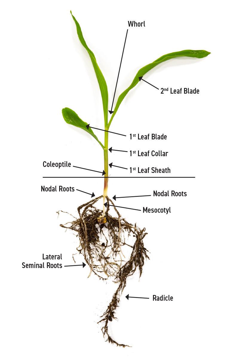 Corn Physiology