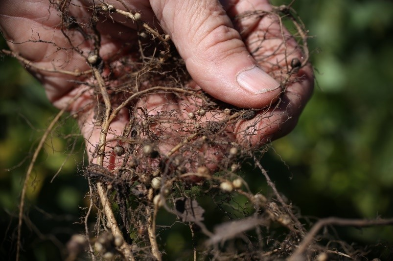 Nematodes Roots